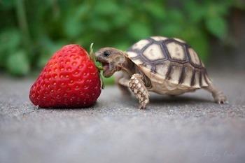 Черепаха и клубничка