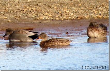 Male Gadwall and ffemale Mallard