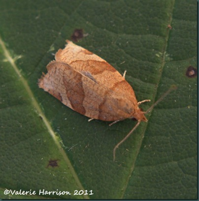 barred-fruit-tree-tortrix