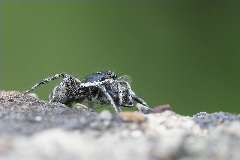 Jumping spider taken with a Sigma 105mm f2.8 lens