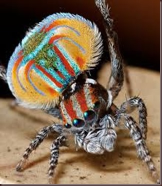 Amazing Pictures of Animals, photo, Nature ,exotic, funny, incredibel, Zoo, Maratus volans,  Peacock spider or Gliding spider, Alex (5)
