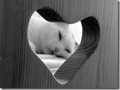 Cardiopatia felina