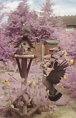 Trice thrice - three wood-pigeons