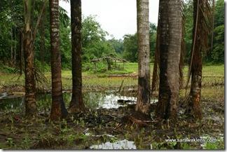 paddy_planting_sarawak_sawah_padi_1