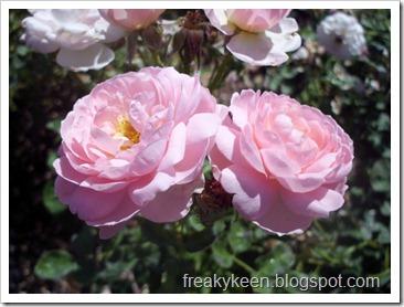 MCC Rose Garden 4