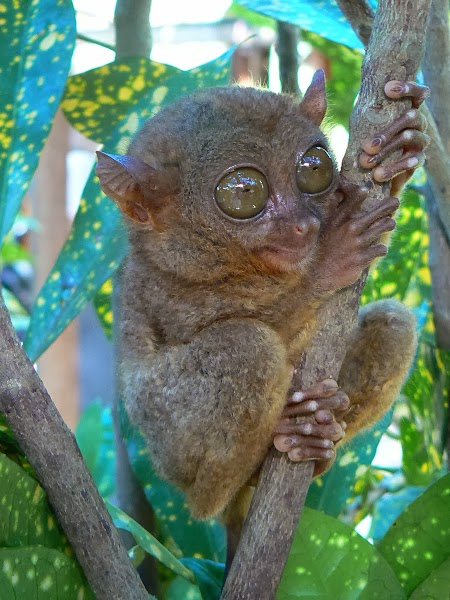 Tarsier in Filipine