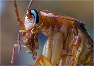 Amazing Pictures of Animals,Photo, Nature, Incredibel, Funny, Zoo, Cockroaches,Blattaria or Blattodea, Insecta, Alex (9)