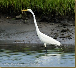 Great Egret D7K_0586 July 24, 2011NIKON D7000