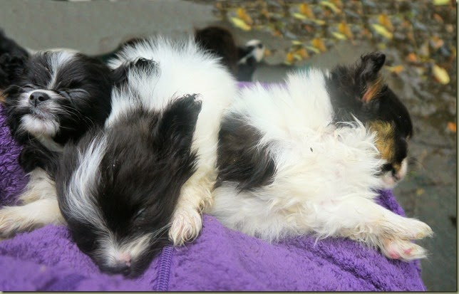 Belle`s litter on knee 7wks