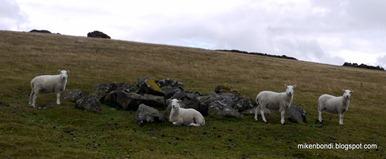 Hergest sheep