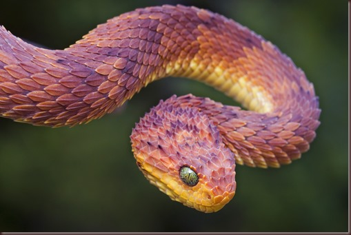 Bush Viper (Atheris squamigera), red phase