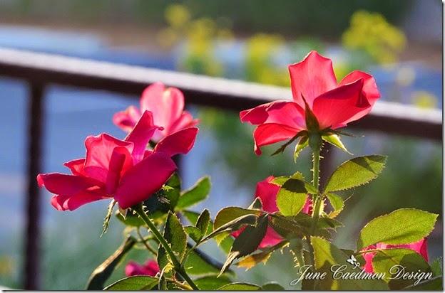 Roses_Backlit