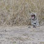 Leopard am Wegesrand ... © Foto: Marco Penzel | Outback Africa Erlebnisreisen