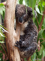 geduschter Koala beim täglichen 20! Stunden Schlaf