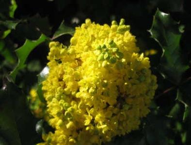 Mahonienblüte im April
