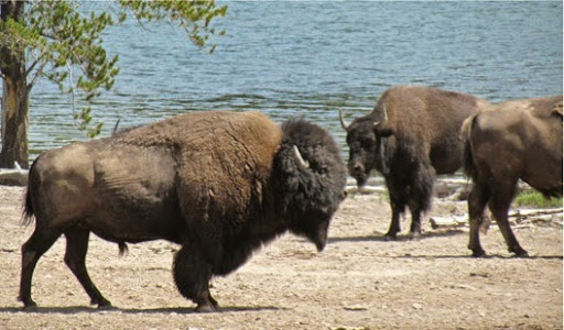 BisonWatching-26-2014-07-30-21-17.jpg