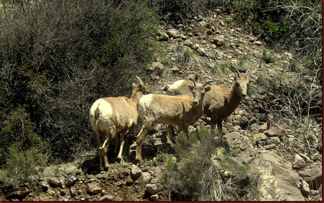 Mountain Goats (1)