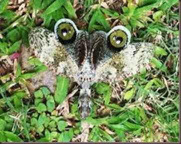 Amazing Pictures of Animals, photo, Nature, exotic, funny, incredibel, Zoo,,Peanut Bug Fulgora laternaria, Alex (5)