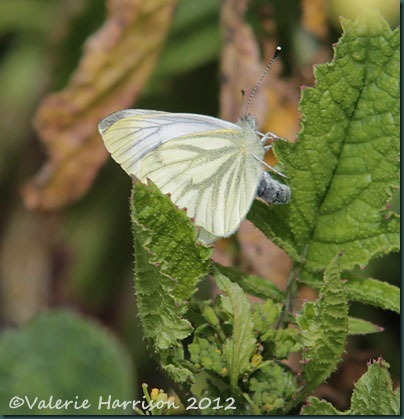 green-veined-white-butterfly