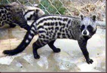 Amazing Pictures of Animals, photo, Nature exotic, funny, incredibel, Zoo, African civet, mammals, Alex (8)