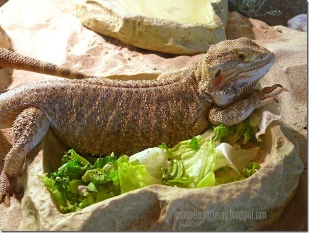 Bartagame mit Salatbeilage