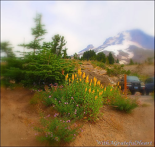 Timberline Wildflowers