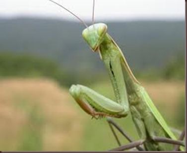 Amazing Pictures of Animals photo Nature exotic funny incredibel Zoo Mantis Arthropodo Insect. Alex (11)