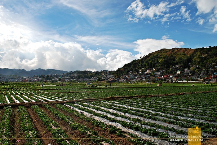 La Trinidad's Strawberry Farm