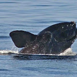 North atlantic right whale breaching