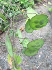 cape cod 6.12 money plant unripe