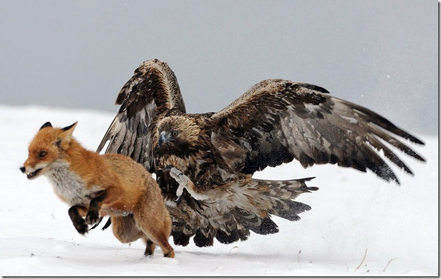 eagle-fighting-fox