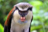 Mona Monkey - St. George's, Grenada
