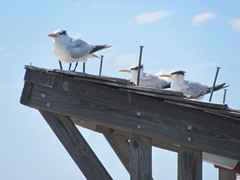 Florida 2013 Naples pier royal terns on roof