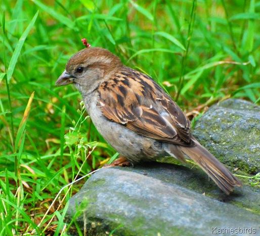 DSC_0205 house sparrow-kab