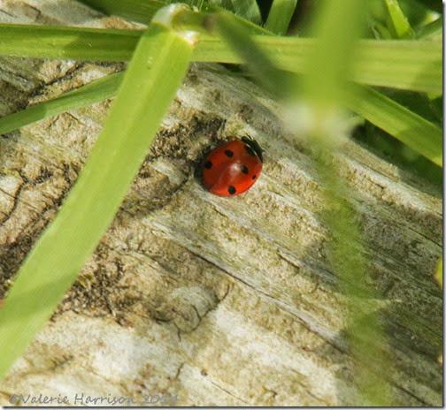 26-7-spot-ladybird