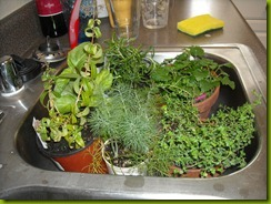 plants in sink b