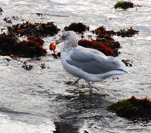 7. gull and crab-kab