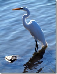 Egret at Huntington Beach