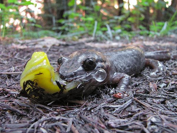 banana slug Ariolimax columbianus 17