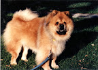 Harry Chow, one of Martha's first chows, had a very interesting face.