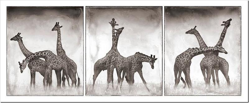 la danxa della giraffa
