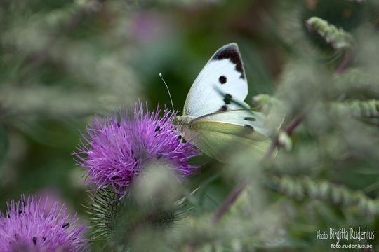 butterfly_20110730_vit