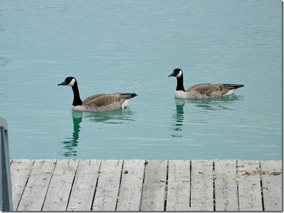 Montrose Harbor geese