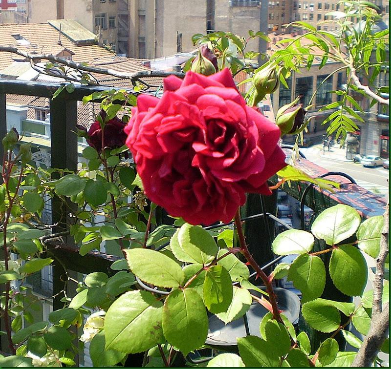 humedad,rosas 014