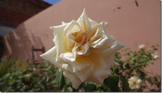 flor-flores-rosas-imagens130