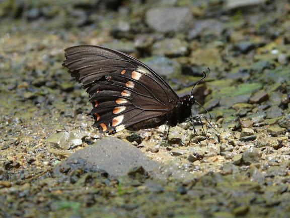 Papilio aristeus lenaeus DOUBLEDAY, 1846. Taipiplaya (alt. 850 m), Bolivie, 18 janvier 2008. Photo : J. F. Christensen