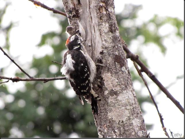 Woodpecker in the rain