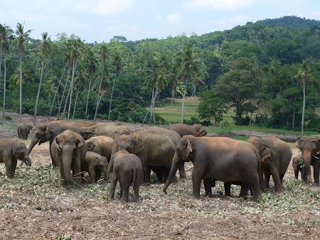 Imagini Sri Lanka: Orfelinat de elefanti Pinnawala
