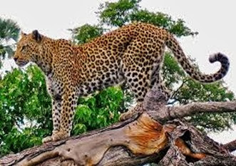 Amazing Pictures of Animals, Photo, Nature, Incredibel, Funny, Zoo, Leopard,Panthera pardus, Mammals, Carnivora, Alex (4)