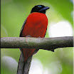 Scarlet-rumped Trogon male-02.jpg